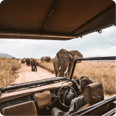 Tour operator conducting a safari tour in Africa next to elephants