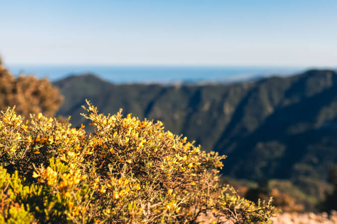 yellow flowers with blurry mountain background
